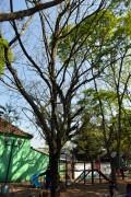 Árvores da Praça terão que ser podadas